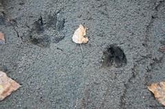 DSC_6961 (sammckoy.com) Tags: mountains animal wolf britishcolumbia wildlife tracks deer wilderness bellacoola coastmountains mckoy bellacoolahelisports tweedsmuirparklodge sammckoy samckoy samuelmckoy