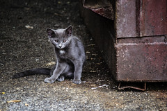 Feral Cats (Bravo213) Tags: wild cute trash cat nude town eyes kitten bare tiger kitty thumbsup cy felion feralcats challengeyouwinner thechallengefactory herowinner ultraherowinner