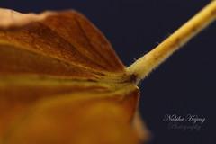 IMG_0936 (Nabiha Hajaig) Tags: leave photography dry macrophotography