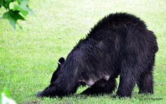 DSC_0079 (rachidH) Tags: bear nature wildlife nj sparta blackbear ours wildanimals rachidh
