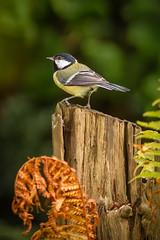 Great Tit (fredvr (Fred van Rooijen)) Tags: bird birds tits vogels greattit parusmajor vogel chickadees feathered koolmees atricapillus mezen gardenbird tuinvogel gevederd