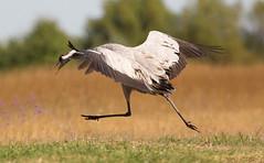 Angry Crane