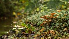 stream & fungi (markhortonphotography) Tags: autumn mushroom canon stream arboretum surrey fungi 7d toadstool nationaltrust winkworth winkwortharboretum 100400l eos7d