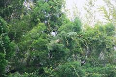 Mr Iguana & Happy Gorgeous Green Thursday!!! (LarryJay99 ) Tags: vines tail bamboo lizard iguana greenery morikamijapanesegardens canonefs18135mmf3556is ilobsterit