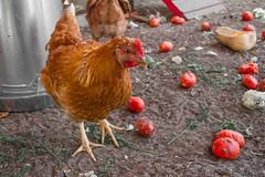Pouliot Farm 2013-5 (melbaczuk) Tags: chicken canon kelowna rampone donoray canon7d rottontomatoes
