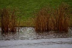 Autumn Rain 2 (LongInt57) Tags: brown white canada green nature water reeds grey bc okanagan gray wetlands kelowna raining ponds rushes splashing