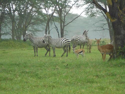 zebras etc in Nakuru Park