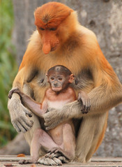 Female Proboscis Monkey (Nasalis larvatus) with baby2, Labuk Bay, Sabah, Malaysia (Damon Tighe) Tags: baby animal female monkey bay infant asia southeastasia wildlife south east malaysia borneo primate sabah animalia mammalia proboscis primates proboscismonkey chordata nasique labuk cercopithecidae nasalislarvatus taxonomy:kingdom=animalia taxonomy:class=mammalia taxonomy:phylum=chordata nasalis larvatus mononarigudo longnosedmonkey  taxonomy:order=primates taxonomy:family=cercopithecidae taxonomy:binomial=nasalislarvatus taxonomy:species=larvatus taxonomy:genus=nasalis taxonomy:common=proboscismonkey taxonomy:common=longnosedmonkey taxonomy:common=nasique taxonomy:common=mononarigudo  inaturalist:observation=466452