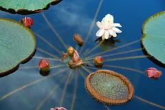 blue sky reflection (rosch2012) Tags: flower water leaf wasser lotus blossom lilly blatt reflexion bltte