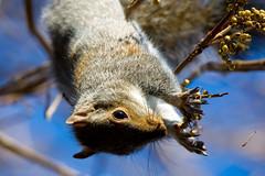 HVAR-2759.jpg (HVargas) Tags: wild dogs nature animal de mammal la flying squirrel squirrels unitedstates wildlife small maryland ground b