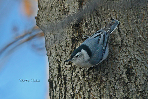 Nuthatch on a grey day