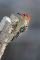 Red-bellied Woodpecker_40970.jpg (Mully410 * Images) Tags: winter snow cold bird ice birds backyard woodpecker birding birch redbelliedwoodpecker birdwatching birder