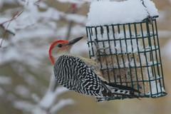 Red-Bellied Woodpecker (beccafromportland) Tags: bird backyard redbelliedwoodpecker my