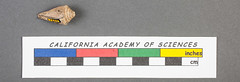 Conus (Leptoconus) roigi (california academy of sciences geology) Tags: southamerica museum fossil ecuador shell snail science paleontology research type geology specimen gastropod mollusk invertebrate californiaacademyofsciences miocene cenozoic paratype calacademyorg conusleptoconusroigi
