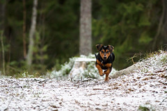 Miss M (>>Marko<<) Tags: winter dog pet snow animal forest canon suomi finland woods frost run lumi talvi manta lemmikki mets elin koira kuura valokuvaus juosta vision:outdoor=0985
