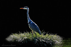 Heron (dorameulman) Tags: light paris france bird heron nature birds landscape photography humpday dorameulman