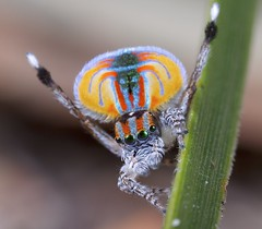 _MG_2945 (7) peacock spider Maratus volans for Wikipedia (Jurgen Otto) Tags: