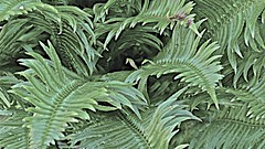 Index Fern (sswj) Tags: leica fern composition flora raw northwest pov availablelight beautifullight foliage pacificnorthwest photographicart washingtonstate index fineartphotography fullscreen scottjohnson artisticphotography composing artphotography creativephotography iphotoedited dl4 poeticphotography californiaphotographer sanfranciscobayareaphotographer viewfullscreen marincountyphotographer thoughtfulcomposition photographiccreativity artfulcpmpsition makingfinephotos