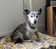 24th Feb Susie arrives for another 3 nights of dogsitting fundraising fun for Invest in M.E. (Cardedfolderol) Tags: pet dogs fur canine mongrel dogsitting fundraisers dogsit whippetcross