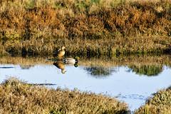 Mirror Image (rschnaible) Tags: california ca water grass bay duck san francisco wildlife pair ducks dry explore wetlands grasses mallard marsh drake mate northern hen explored