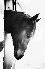 IMGP6632-stavrosstam (stavrosstam) Tags: bw horse head thelittledoglaughed ldlnoir