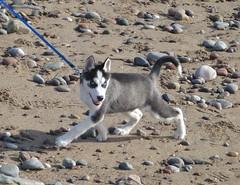 Blue-eyed Puppy (chdphd) Tags: dog puppy husky aberdeenshire siberianhusky stonehaven kincardineshire