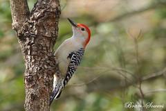IMGD3820 (bram-sowers) Tags: woodpecker squirrel cardinal bluejay wren redbelliedwoodpecker richmondvirginia darkeyejunco pentaxk3 sigma500mmex45 march2014