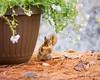 peek-a-boo (Nancy Rose) Tags: squirrel peekaboo planter 7184