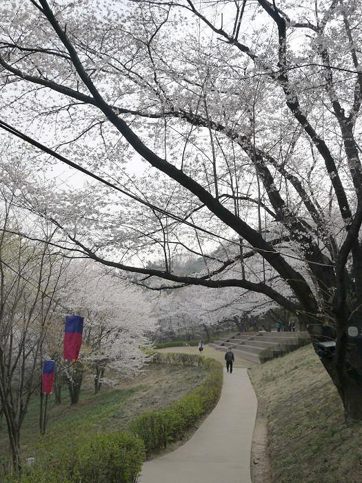 首爾鞍山公園櫻花道안산공원벚꽃길 (4).jpg