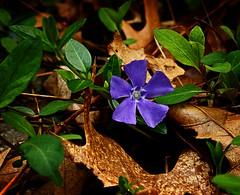Violet (P.Woolley) Tags: flowers flower 50mm nikon d3100