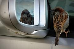 Hable con ella (Cristian Ştefănescu) Tags: reflection bird nature animal mirror spiegel natur natura sparrow spiegelung tier vogel spatz fav40 pasăre vrabie păsări outstandingromanianphotographers