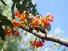 Squirrel enjoying castanospermum australe blooms 2.JPG (vishnu_agni) Tags: mar bangalore castanospermumaustrale blackbeantree