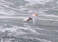 Ross's Gull lifting off water (de Leon2014) Tags: bird newfoundland de gull lisa arctic leon endangered rare torbay rosss
