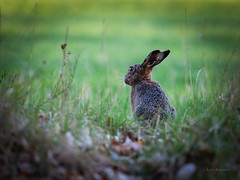 _MG_0318.jpg (fotolasse) Tags: hare sweden natur sverige tingsryd skogshare svenskhare