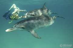 WildQuest Dolphin Swim - 3/2014 (Wildquest Bimini) Tags: wild swimming swim underwater dolphin snorkeling bahamas bimini bottlenose dolphinquest wildquest dolphinunderwater swimwithdolphin atmoji