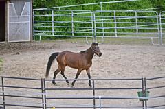 2014-05-05 (14) Miss Nicole's (JLeeFleenor) Tags: md croom missnicole horses thoroughbreds equine equestrian cheval cavalo cavallo cavall caballo pferd paard perd hevonen hest hestur cal kon konj beygir capall ceffyl cuddy yarraman faras alogo soos kuda uma pfeerd koin    hst     ko  maryland