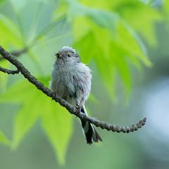 Jeune oiseau (SylvainMestre) Tags: bird young oiseau jeune