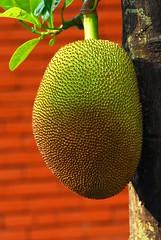 Jack Fruit (Prairie_Wolf) Tags: travel red tree green fruit thailand photography asia seasia southeastasia jackfruit travelphotography artocarpusheterophyllus rachelmackay