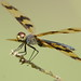 Rhyothemis graphiptera; Graphic Flutterer