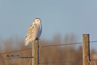 Snowy Owl DSC_3206