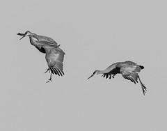 Bank Left (C.Fredrickson Photography) Tags: tn tennessee birchwood sandhillcrane 2015 gruscanadensis carlfredrickson wwwcfredricksonphotographycom hiwasseenwr carlfredrickson2015