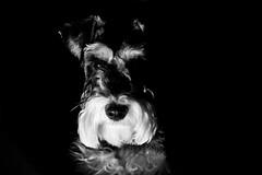 Low Key #5 (Joe_Petykowski_Jr) Tags: blackandwhite dog animal sony lowkey minischnauzer a65 52in2015