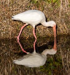 _AAC8007.jpg (Lake Worth) Tags: bird nature birds animal animals canon wings florida wildlife feathers wetlands everglades waterbirds southflorida 2xextender sigma120300f28dgoshsmsports