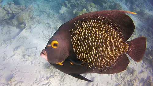 Curious Angelfish