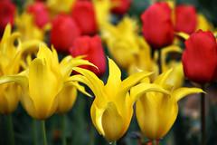 Tulips (Andy von der Wurm) Tags: flowers plants germany deutschland flora europa europe tulips blossom pflanzen blumen alemania colourful allemagne farbig nordrheinwestfalen bunt laga landesgartenschau tulpen blueten blten northrhinewestfalia zlpich hobbyphotograph calorful tulipsfield zuelpich andreasfucke andyvonderwurm