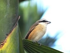 DSC01521 (phenixliu68) Tags: 伯勞 鳥 shrike bird nature 候鳥