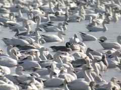 Richardson's Cackling Goose (chlorophonia) Tags: usa birds animals unitedstates ducks delaware animalia vertebrates anatidae snowgoose chencaerulescens cacklinggoose brantahutchinsii brantahutchinsiihutchinsii geeseandswans richardsonsgoose