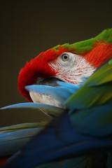 IMG_5001 (JoanZoniga) Tags: blue red white green bird nature colors