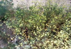 - (_barb_) Tags: flowers film 35mm weeds australia melbourne nikonem gestrypp