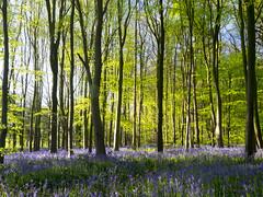 Bluebell Woods (DaveKav) Tags: morning sunlight forest woodland spring woods nottinghamshire sherwood a614